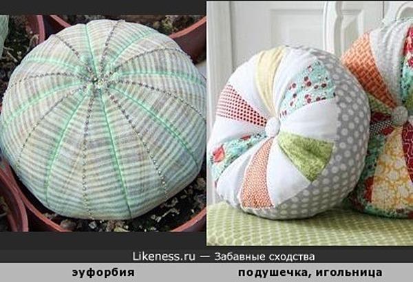 Растение эуфорбия напоминает декоративную подушечку или игольницу