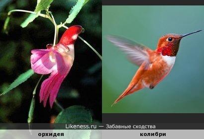 Цветок орхидеи похож на колибри