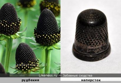 Цветок рудбекии похож на наперсток