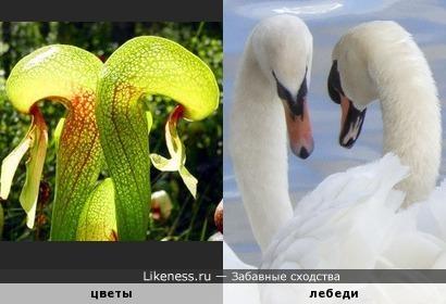 Изгибы цветка напоминают лебедей