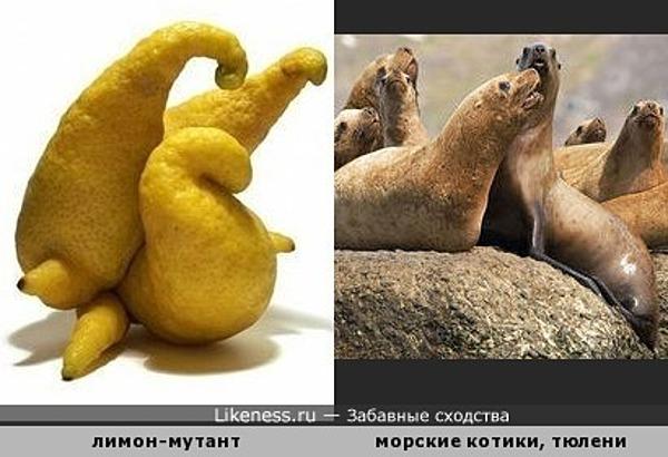 Странный лимон напомнил группу морских котиков