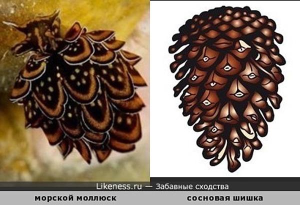 Морской моллюск похож на сосновую шишку
