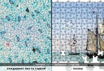 Лист герани под микроскопом напоминает пазлы