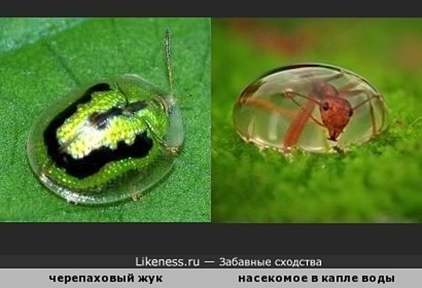 Панцирь черепахового жука похож на каплю воды
