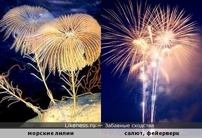 Морские лилии похожи на фейерверки