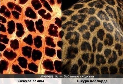 Леопарды из мира растений, или ягуары, всегда их путаю )