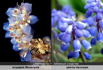 Колония асцидий напомнила цветы мускари