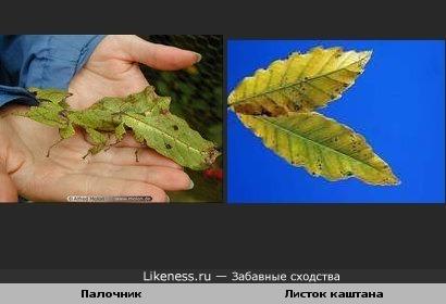 Палочник похож на листок каштана