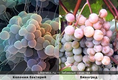 Колония бактерий и Виноград