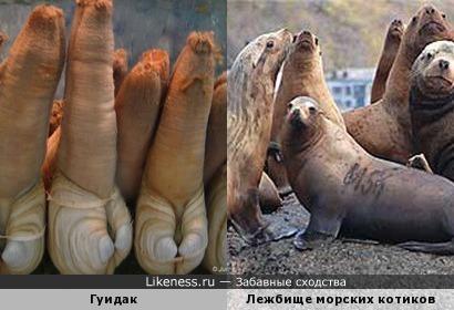 Гуидак и Лежбище морских котиков