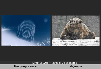 Микроорганизм и медведь