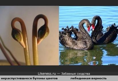 бутоны цветов похожи на лебедей