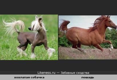 хохлатая собака похожа на лошадь