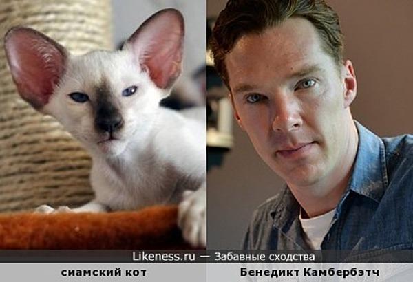 Сиамский кот похож на Бенедикта Камбербэтча
