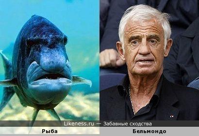 Рыба похожа на Бельмондо