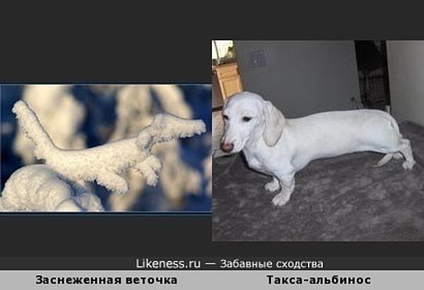 Заснеженная веточка и Такса-альбинос