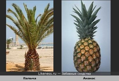 Пальма напоминает ананас