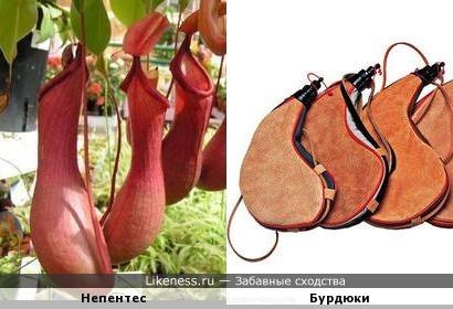 Растение Непентес напоминает эти Бурдюки