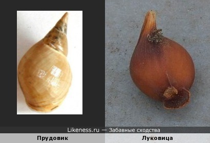 Прудовик напоминает луковицу
