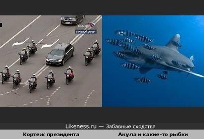 Кортеж президента и акула в окружении рыбок