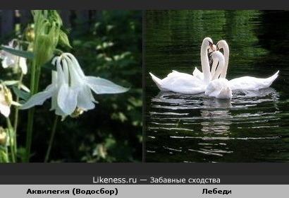 Цветок аквилегии напоминает лебедей