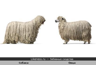 Собака и овечка похожи
