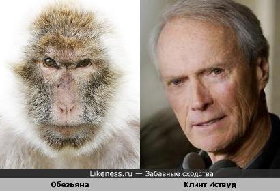 Эта обезьяна напоминает Клинта Иствуда