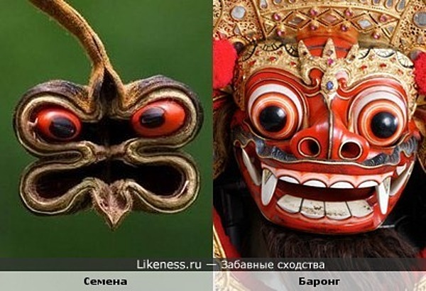 Семена растения и индонезийская маска