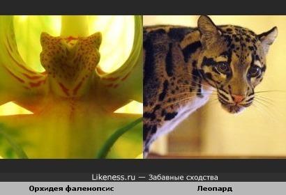 В орхидеях живут леопарды)