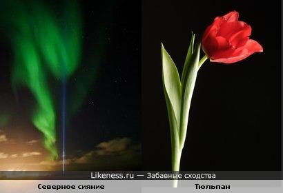 Тюльпан северного сияния
