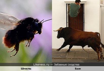 Летящий шмель похож на быка