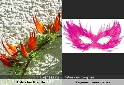 """Растение """"Клюв попугая"""" напоминает карнавальную маску"""
