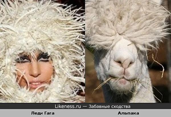 Леди Гага и парнокопытное домашнее животное