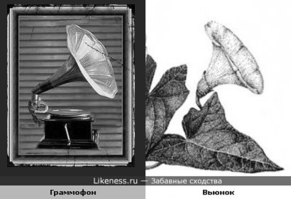Граммофон похож на вьюнок
