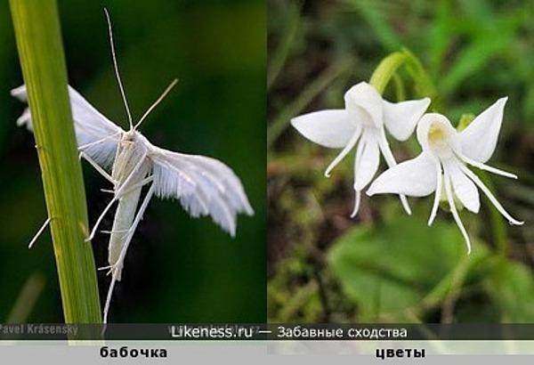 Цветы похожи на белых бабочек