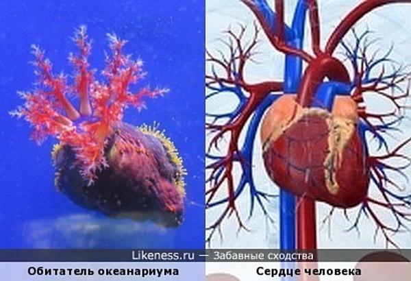 Обитатель океанариума похож на сердце человека
