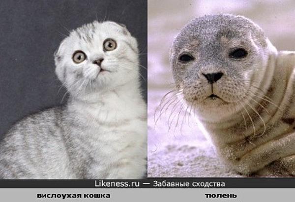 вислоухая кошка похожа на тюленя
