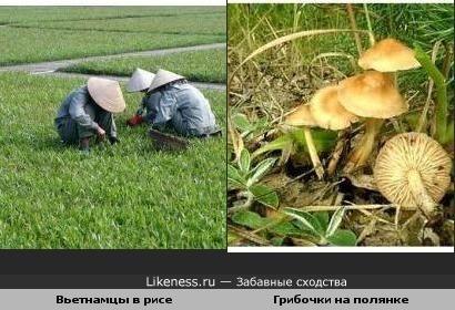 Вьетнамцы в рисе как грибочки на полянке