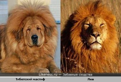 Тибетский мастиф - добрый царь зверей :)