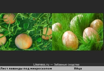Лист лаванды под микроскопом напоминает яйца в траве