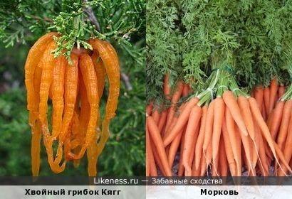 Хвойный грибок похож на Морковь