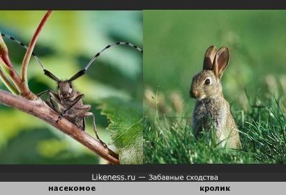 ЭТО Насекомое почему-то упорно напоминает мне кролика...