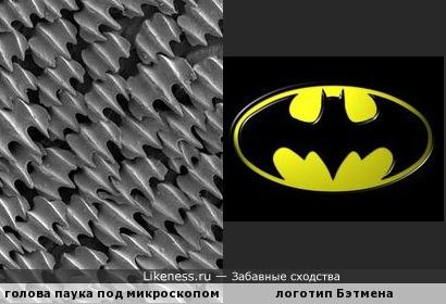 голова паука под микроскопом напоминает логотип Бэтмена
