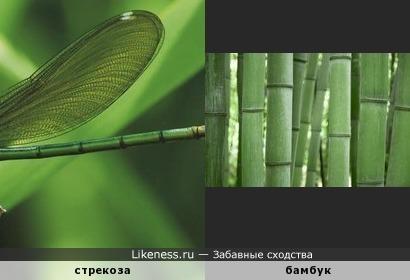 строение брюшка стрекозы похоже на бамбук