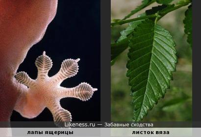 Отпечатки на лапках ящерицы похожи на листочки..