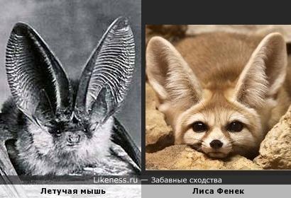 Летучая мышь и Лиса Фенек похожи