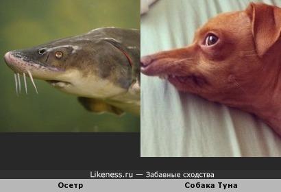 Осетр и Тунец )