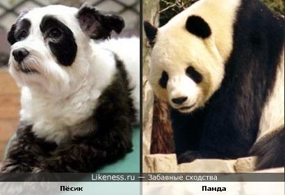 Пёсик похож на панду