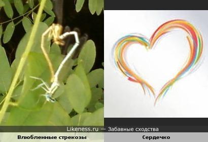 Две стрекозы, слившиеся в любовном экстазе, похожи на сердечко
