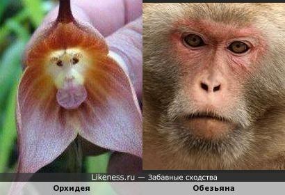 Орхидея похожа на обезьяну